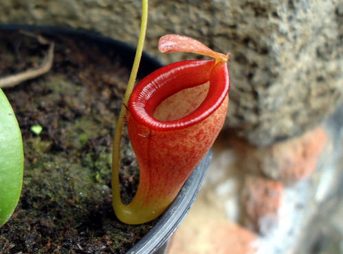 Nepenthes rajah y ultrahighlands DSC013901